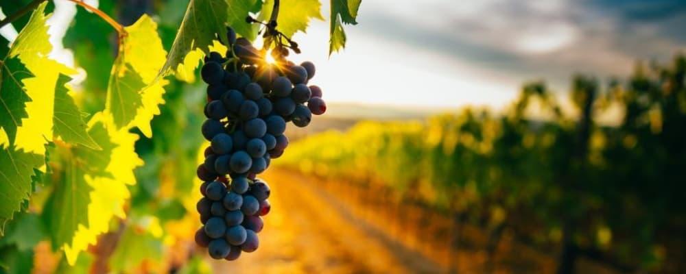 Beautiful sunset over Tuscan vineyards